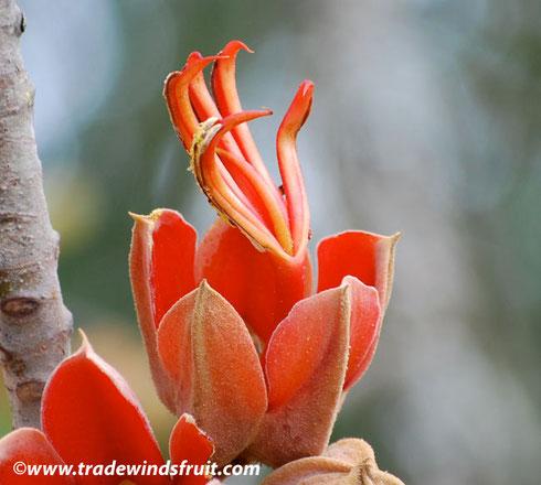 La flor de la Manita en el Convento Agustino de Malinalco