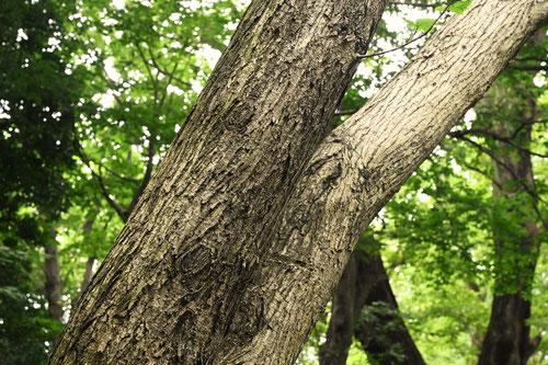 オヒョウ/おひょう/於瓢 - 庭木図鑑 植木ペディア