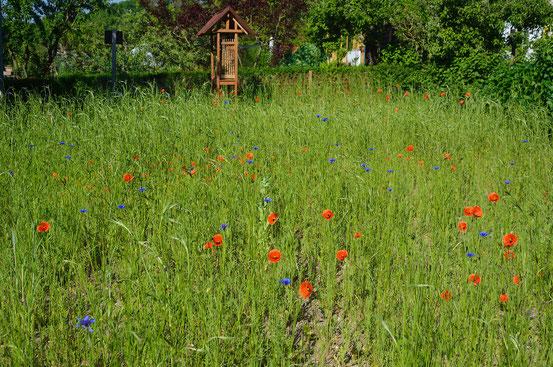 Entstehung einer MagerBlumenwiese  kleingartenhangeweiherde