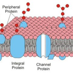 Animal Cell Diagram Labeled And Functions Maestro Dimmer Wiring Parts Withcarbon Structure Of The Membrane