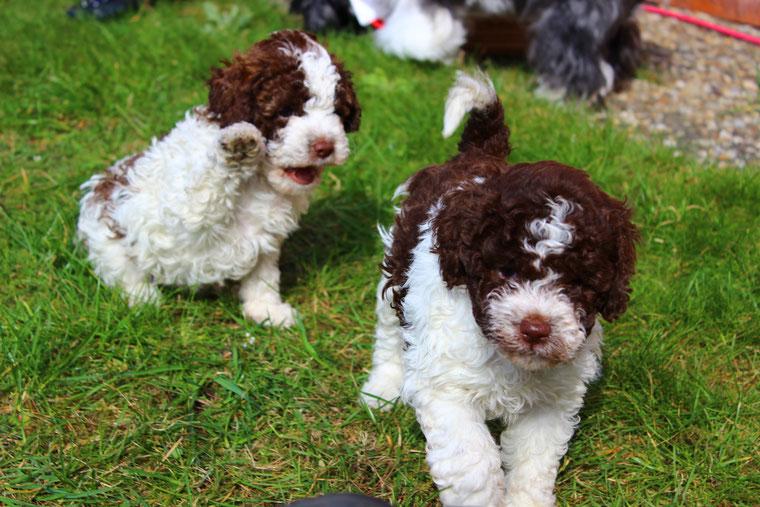 Curly Coats Lagotto Romagnolo Abzugebende Hunde Curly
