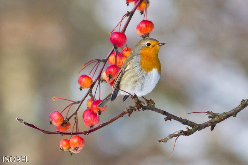 Le rouge gorge familier, bel oiseau de nos jardins : tout