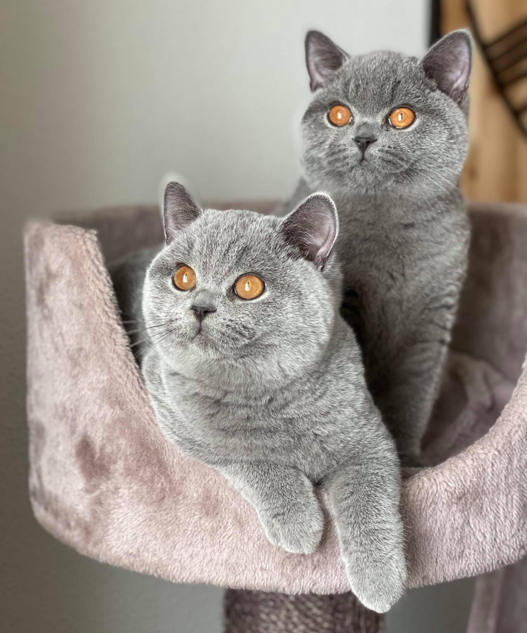 Bkh Britisch Kurzhaar Katzen In österreich Kaufen