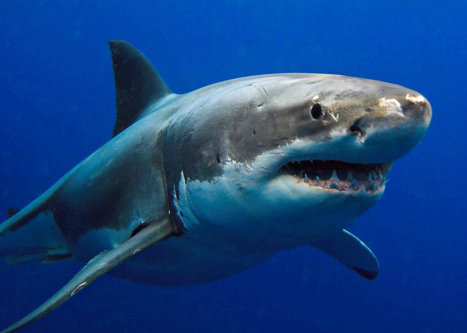 Fun Facts About Great White Sharks