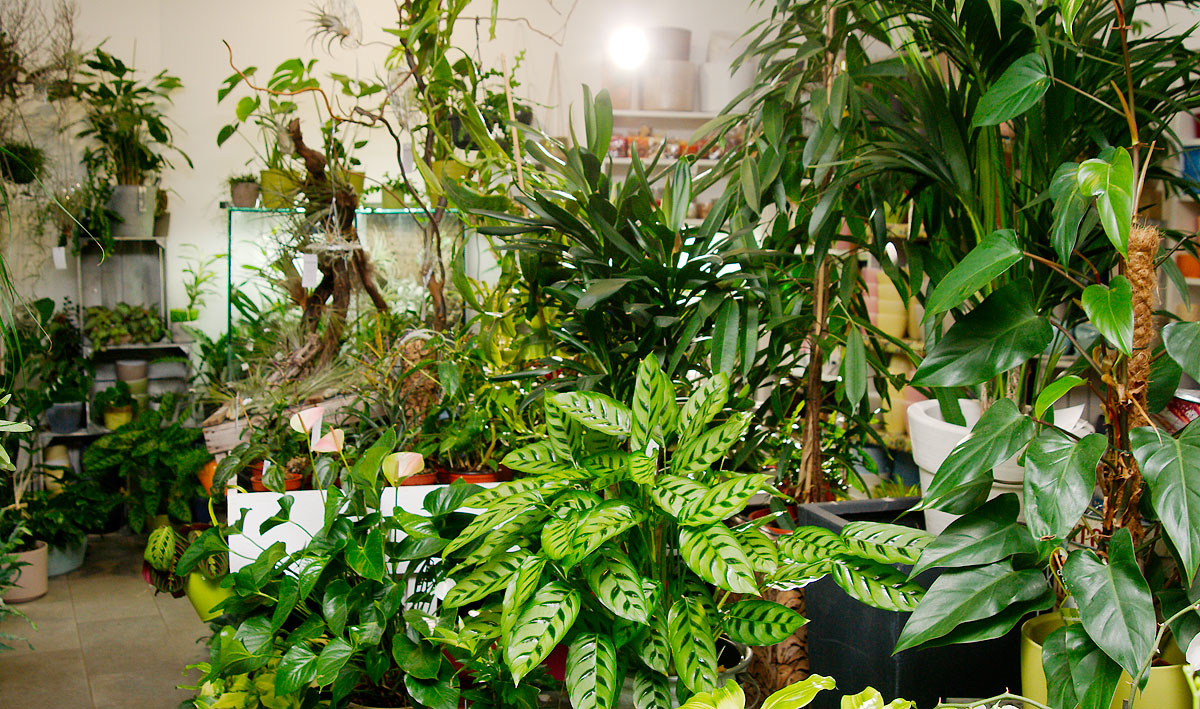 Zimmerpflanzen in Wien kaufen  FlowerCompany