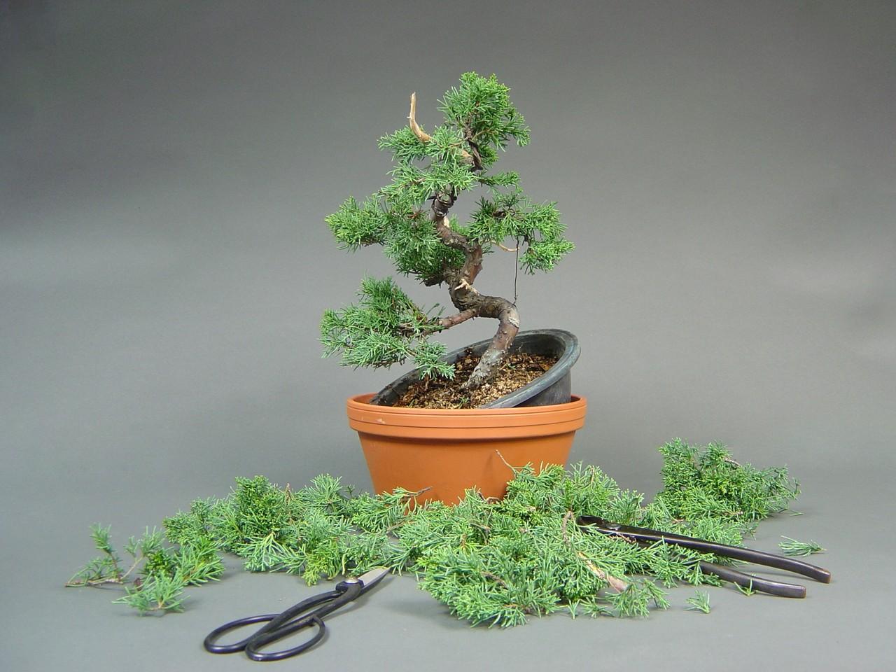 Bonsai Baum Pflege Indoor Bonsai Baum Pflege Bonsai Als Geschenk