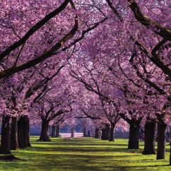 Diagram The Parts Of Cherry Blossom Tree Apexi Turbo Timer Wiring Subaru Love These Blossoms Very Pretty Working Search T