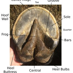 Trimming Horse Hooves Diagram Generate Class From Java Code Natural Hoof Care Hoofschmitz
