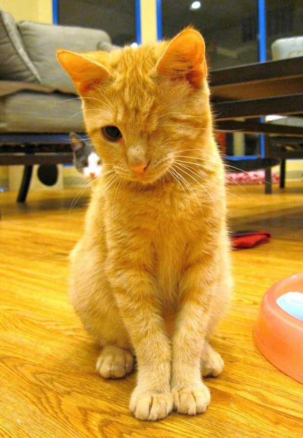 Paw Print Young Orange Tabby Wants A Normal Life