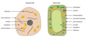 Labelled diagram of plant palisade cell | Plants and