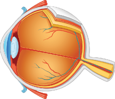 eye anatomy illustration clipart