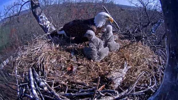 Bald Eagle Nest Cam Near Hanover Livestreaming Again