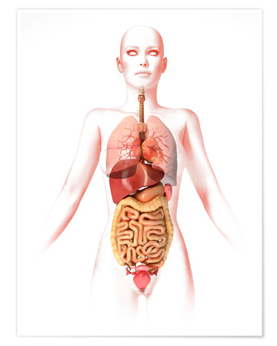 Illustrations for biology educational materials and for study presentations on digestive, nervous, circulatory, muscular, reproductive and urinary. Anatomy Of The Female Body With Internal Organs By Leonello Calvetti As A Print Or Poster Posterlounge