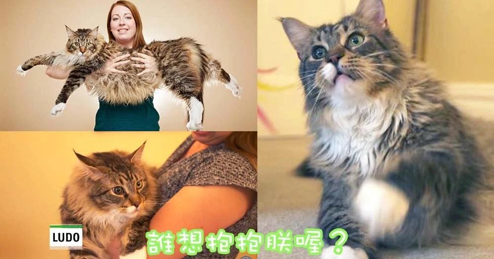 世界上最長的喵星人~來自英國的緬因庫恩貓主子Ludo! | CatCity 貓奴日常