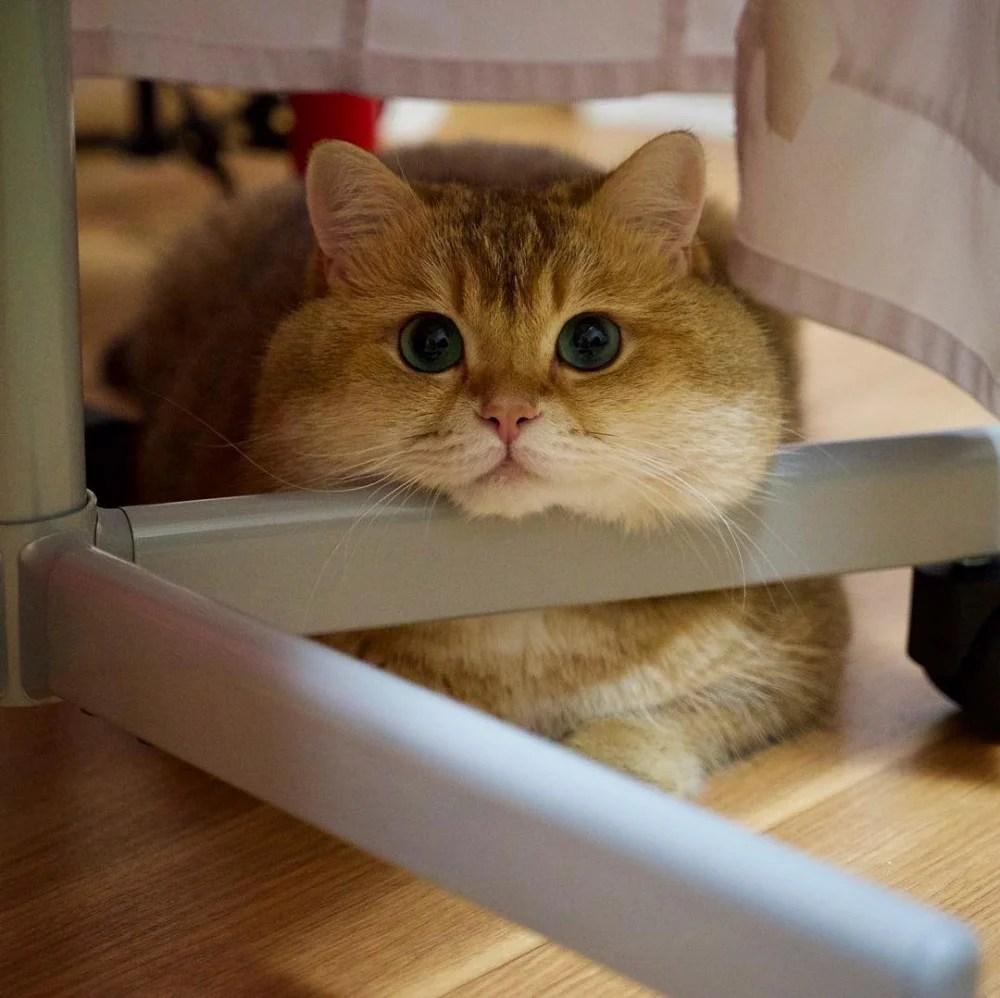 胖胖身軀+賣萌大眼睛!貓咪界的吃玩睡小網紅Hosico。讓人想要偷摸的嘴邊肉~ | CatCity 貓奴日常