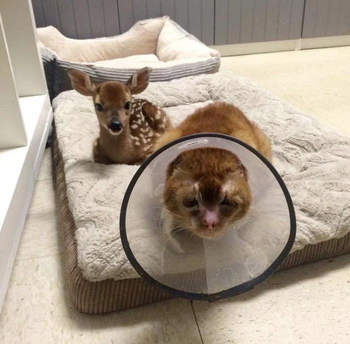 燒傷貓咪化身療癒天使! 嚴重燒傷也不放棄求生希望。成為獸醫院裡最美的貓咪俏護士~   CatCity 貓奴日常