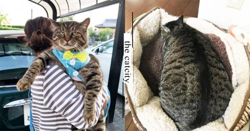 虎斑貓身長竟超越緬因貓?一不小心養成巨貓 網驚:巨無霸海參 | CatCity 貓奴日常