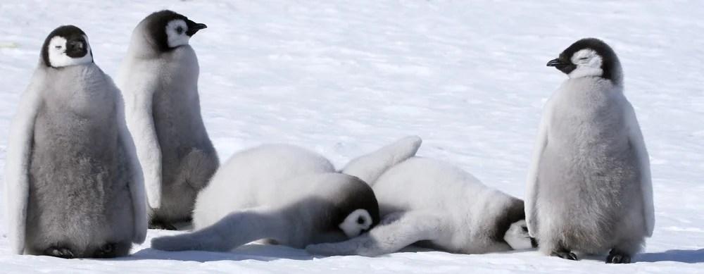 面臨絕種!3年前棲息地倒塌引致 研究團:南極皇帝企鵝現繁殖失敗現象 | HolidaySmart 假期日常