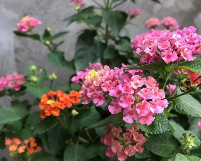 娛樂百分百: 花期最長的植物,全年開花,漂亮好養,陽臺盆栽養花,有它就夠了