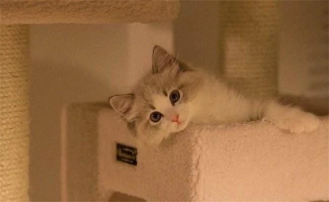 """布偶貓真的好養嗎?不要相信那些""""謊言"""",它有5大缺點   PTT新聞"""