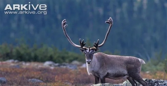 從鹿角說起:光看角環,主枝和分枝,怎麼認出聖誕鹿?   PTT新聞