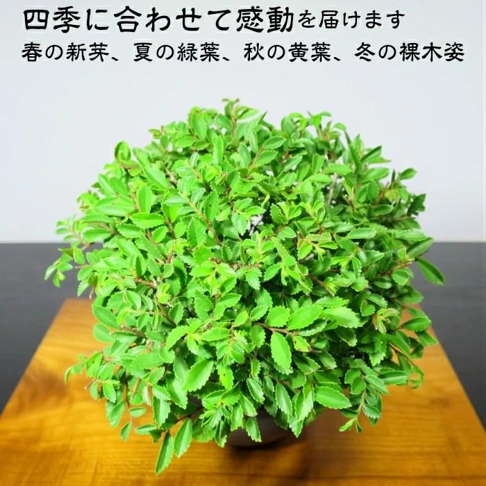 hanagokoro-bonsai: 在盆景榆樹光葉櫸樹榆樹光葉櫸樹小盆景《例外》樹齡8年感到圓的鬥笠樹形厚度樹幹的榆樹光葉 ...