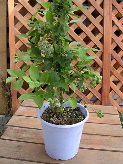 kajoen: 有果實的藍莓盆栽家鈴 | 日本樂天市場