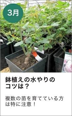 4月 バラのお手入れ 鉢植え 水やりのコツ
