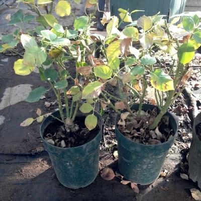 冬のバラのお手入れ 鉢の植替え
