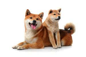 柴犬に魅了される中國人,記事は「中型犬で飼いやすく,日本の柴犬は高値でもてはやされるのに,よく似た中國犬を「柴犬」と偽る ...