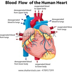 Realistic Heart Diagram Ac Contactor Wiring Human Vector Illustration Download Free Art Stock Showing Blood Flow In