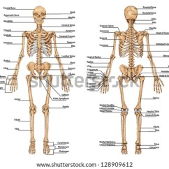 Human Bone Structure Diagram Bmw E90 Base Stereo Wiring Free Vector Bones Download Art Stock Graphics Skeleton From The Posterior And Anterior View Didactic Board Of Anatomy Bony