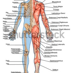 Human Skeleton And Muscles Diagram Volvo 240 Wiring 1992 Royalty Free From The Posterior View 128909615 Didactic Board Of Anatomy Bony Muscular
