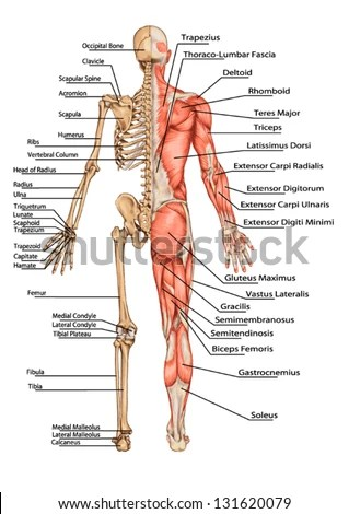 human skeleton and muscles diagram 4 way wiring uk royalty free anatomical body 225637768 stock from the posterior view didactic board of anatomy bony muscular