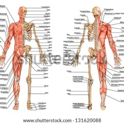 Human Muscles Diagram Labeled Front And Back Relay 4 Pin Wiring A Anatomy Of Muscle Download Free Vector Art Stock Graphics Skeleton From The Posterior Anterior View Didactic Board Bony
