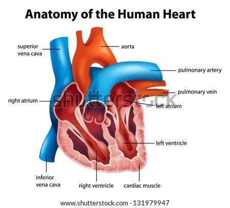realistic heart diagram dodge ram wiring human vector illustration download free art stock anatomy of the