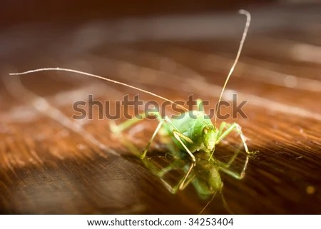 Green Bug With Long Antenna On Wooden Floor Stock Photo