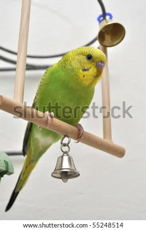 stock photo : Young green budgerigar sitting on the seesaw with bells