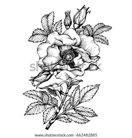 Royalty-free Jasmine flower. Vintage elegant flowers