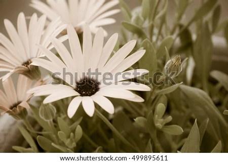 Orange Daisy Flowers Macro Photography, Aged Photo