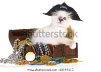 One Eyed Birman Kitten In Pirate Costume With Treasure ...