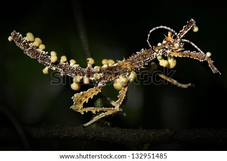 https://i0.wp.com/image.shutterstock.com/display_pic_with_logo/208192/132951485/stock-photo-stick-insect-is-attacked-and-parasitized-by-cordyceps-fungus-in-madagascar-spores-enter-nervous-132951485.jpg