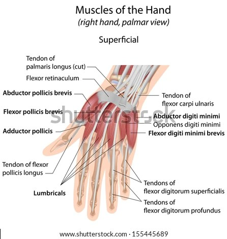 palmar hand muscle anatomy diagram yamaha g2 golf cart starter generator wiring royalty free muscles aspect superficial 228843256 labeled 155445689