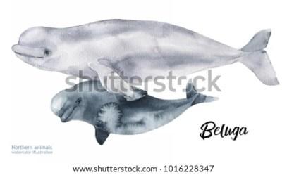 Realistic Beluga Whale Drawing 3