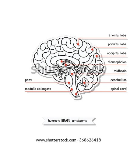 easy brain diagram tree math probability examples shutterstock puzzlepix vector human views isolated cross section illustration of for medical