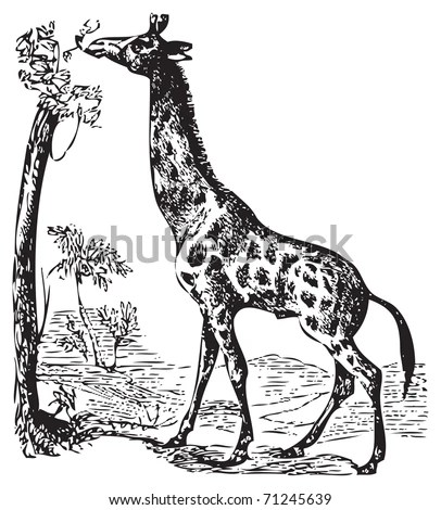 An Illustration Of A Wild African Giraffe Eating Off The