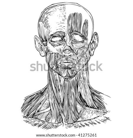 human anatomy head