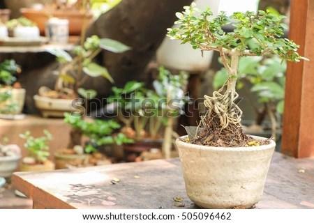 Wood Apple Tree Bonsai