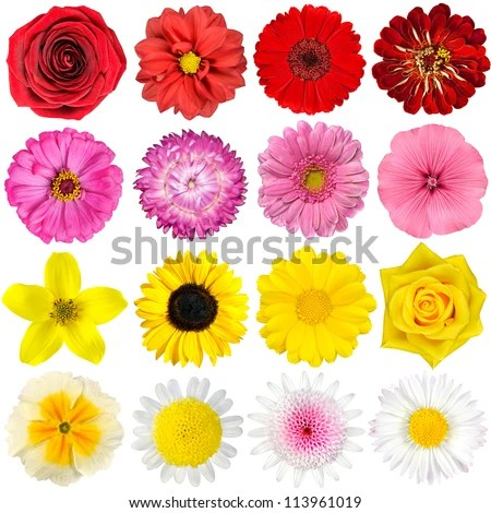 Big Selection of Various Flowers Isolated on White Background. Red, Pink, Yellow, White Colors including rose, dahlia, marigold, zinnia, straw flower, sunflower, daisy, primrose and other wildflowers - stock photo