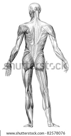 The Human Body Muscle Structure Depicts The Back View